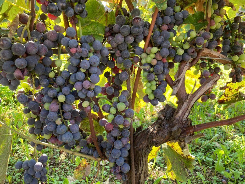 Fragolino grapes at Nonino's